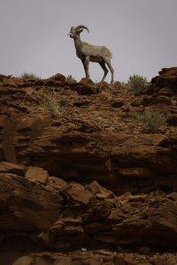 proud desert big horn ram
