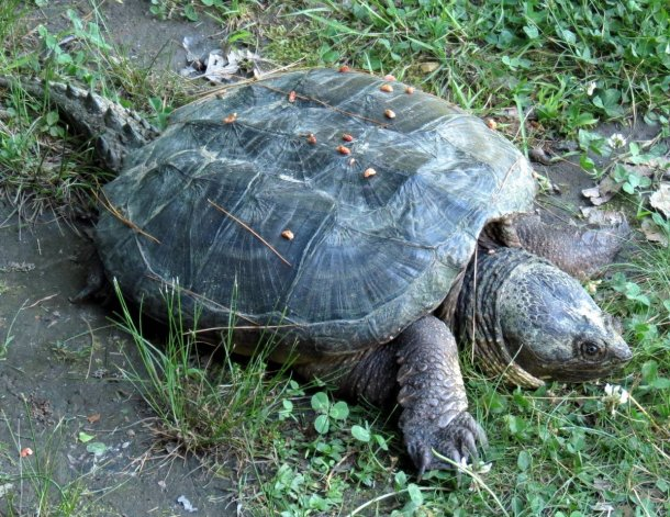 3. Snapping Turtle