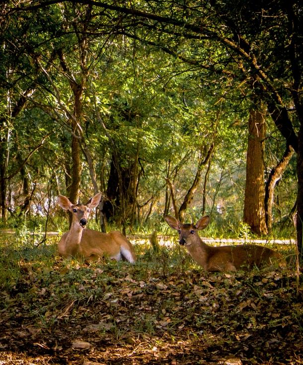 two deer-6
